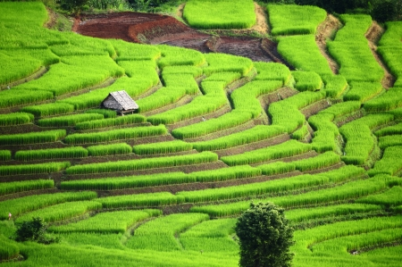field of thai: Rice Terrace at Maechaem in Thailand