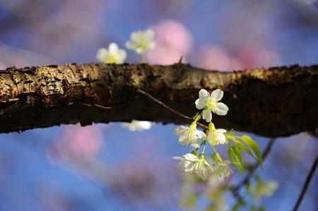 White Sakura blossom at Chiangmai