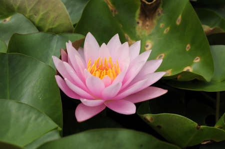 This is waterlily or lotus in asia  photo