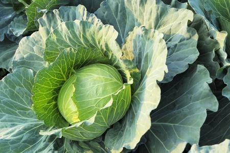 Photo of convert fresh green cabbage  Stock Photo