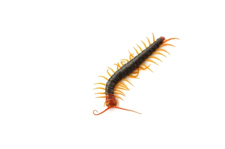Centipede on the white background  photo
