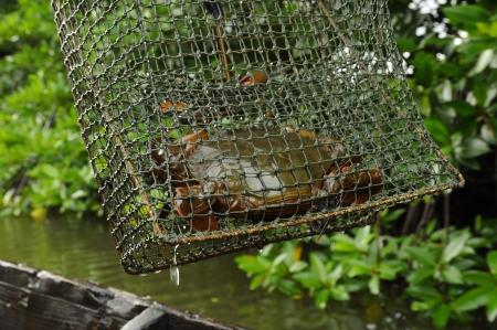 crab pot: Crab pot at mangrove forest