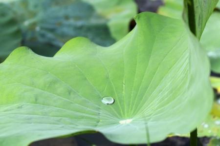 lotus effect: Water drops on lotus leaf  Stock Photo