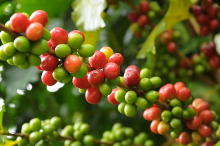 Coffee tree branches filled with ripening Coffee Cherries  Stock Photo