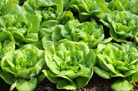 Plot Butterhead lettuce on a field