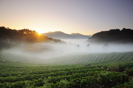 Sunrise over the fields of strawberry field.