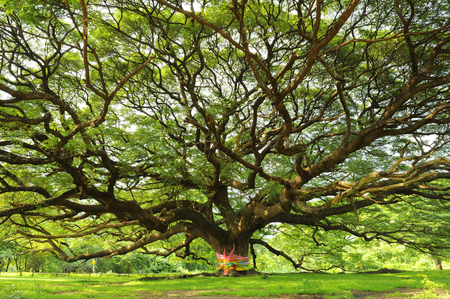 Bush of a rain tree is area approximately 1 acre. Stock Photo