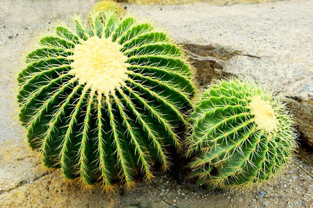 The green cactus with spikes. Stock Photo