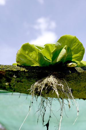 Growing vegetables without soil on the foam. Stock Photo