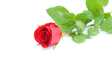 Red roses and water drops. Stock Photo