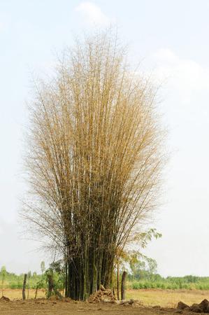 Bamboo tree in autumn