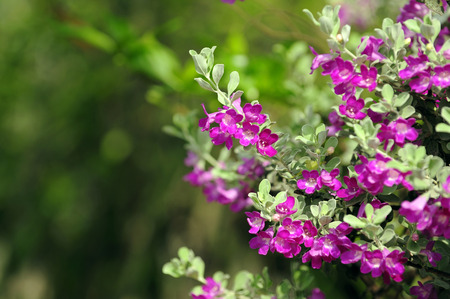 barometer: Purple flowers bush (Barometer Bush) need sun all day. Stock Photo