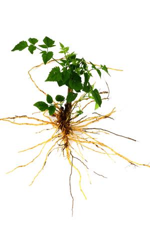 raices de plantas: Árbol verde con las raíces