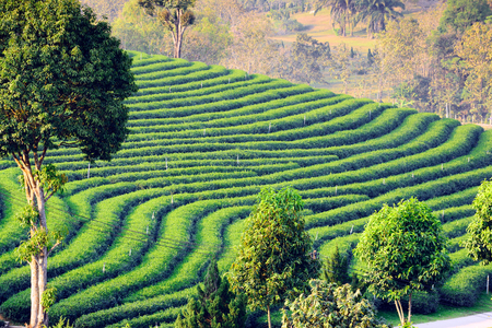 Green tea fields cultivated is terraces