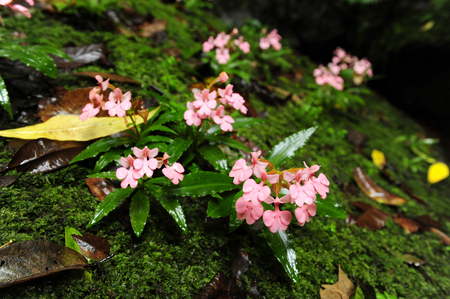 Habenaria flowers on stones with moss.