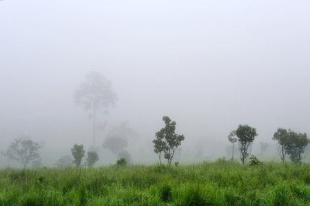 Thick fog background capped to forest and tree