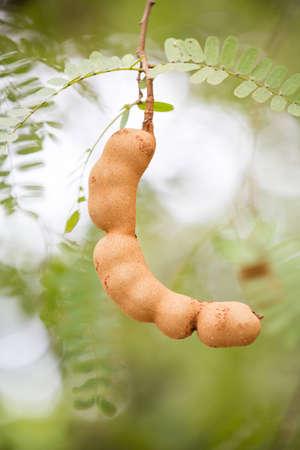 Tamarind on the tree,Thailand