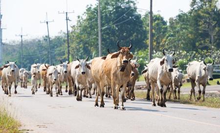 raod: Cows on the raod in Thailand  Stock Photo
