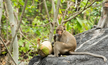 Monkey eating fresh coconus on the mountain in Thai temple photo