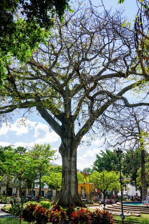 Beautiful Tree in square in San Gil, Colombia.