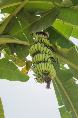 Bunch of bananas on tree. Unripe bananas in the jungle. banana leaf  Stock Photo