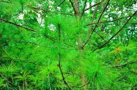 pine green: Leaf pine green of  garden nature