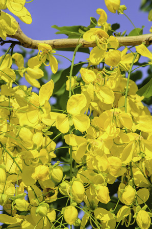 cassia: Cassia fistula of flower