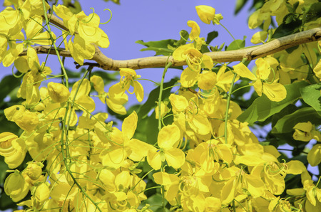 cassia: Cassia fistula of garden Stock Photo