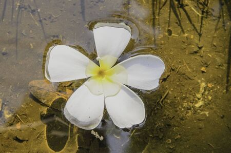 champa flower: Champa flower on water