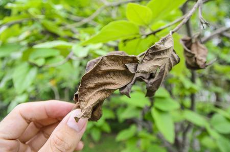dried leaf: Hand of Dried leaf Stock Photo