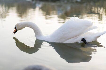 Swan swims in the pond.Swan swims in the pond