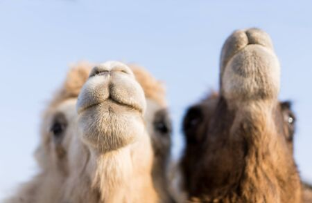 Three camels live in a zoo.Three camels live in a zoo