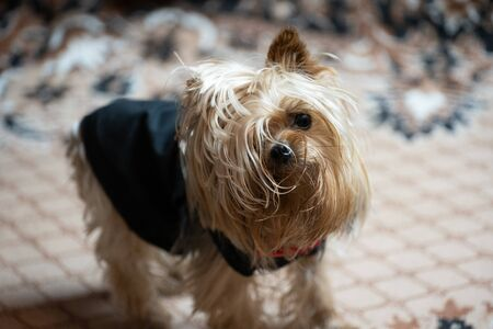 Yorkshire Terrier is not combed and shaggy.Yorkshire Terrier is not combed and shaggy Reklamní fotografie