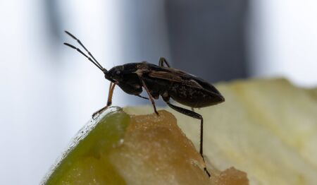 Insect sits on an apple.Insect sits on an apple