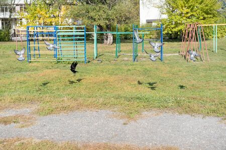 Crow sitting surrounded by pigeons.Crow sitting surrounded by pigeons