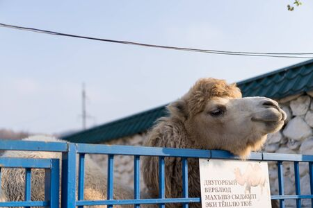 Camel peeps out of its cage.Camel peeps out of its cage