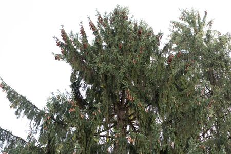 Green spruce with many cones on it Stock Photo