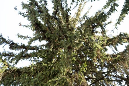 Branches of spruce hanging from a tree Stock Photo