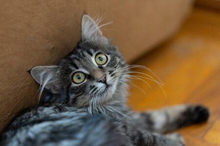 Cat carefully looks wide open eyes Stock Photo