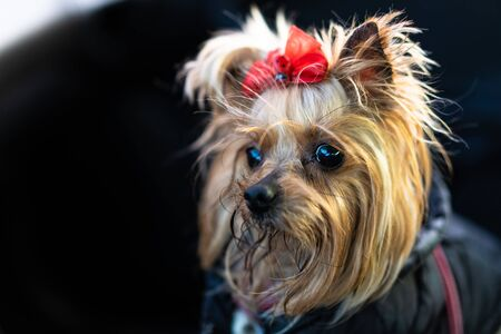 Yorkshire Terrier dog in clothes sits in a car Stock Photo