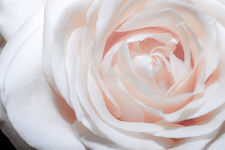 Macro photo of a yellow rose petals