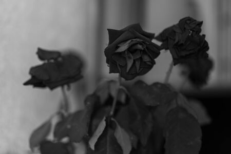 Withered roses black white photo