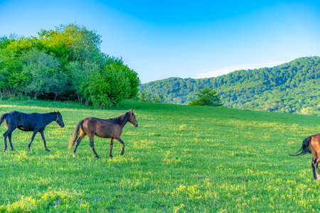 Horses graze in the meadow