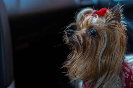 Yorkshire terrier in the car