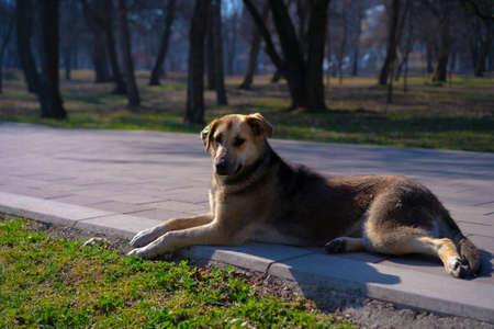 Homeless dog lies on the street.