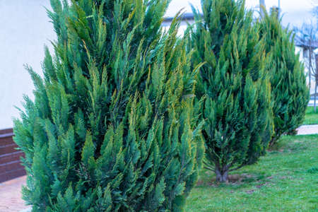 Thuja decorative trees growing in a clearing