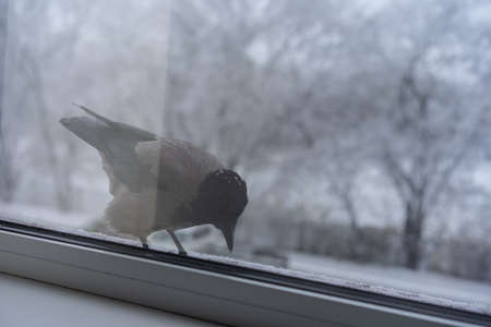 Crow eats in the winter outside the window