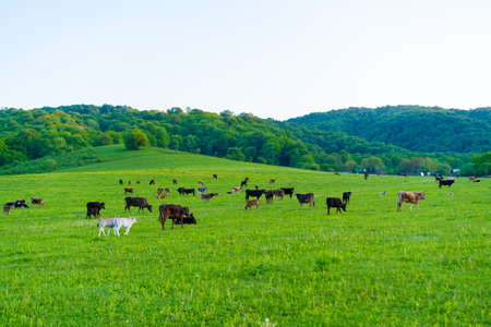 Cows graze in the meadow