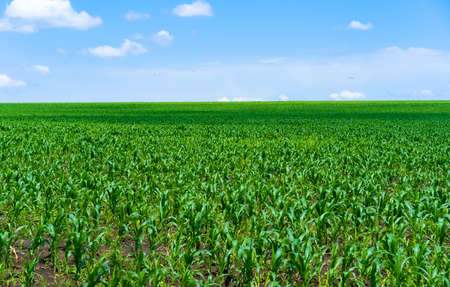 Field with growing corn, against the background of the sky 写真素材