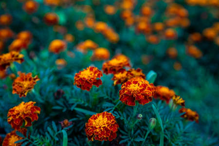 Growing and blooming marigold flowers